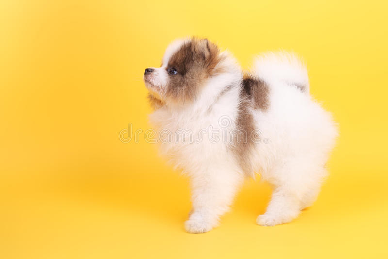 Perrito del perro de Pomerania imagenes de archivo