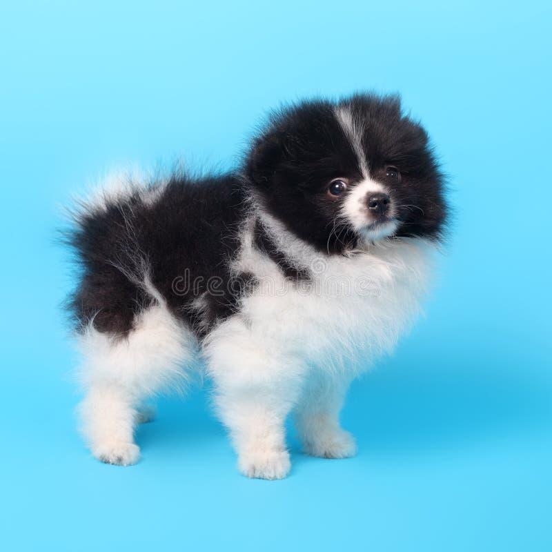 Perrito del perro de Pomerania imagen de archivo libre de regalías
