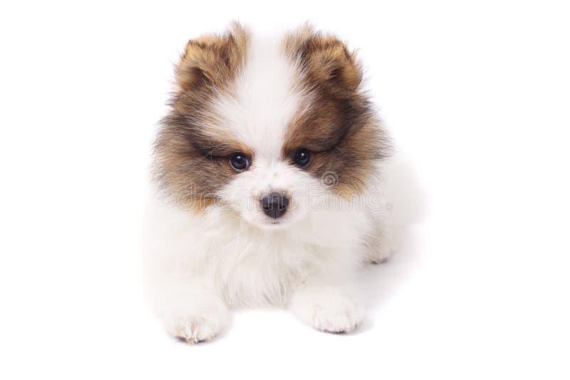 Perrito del perro de Pomerania imágenes de archivo libres de regalías