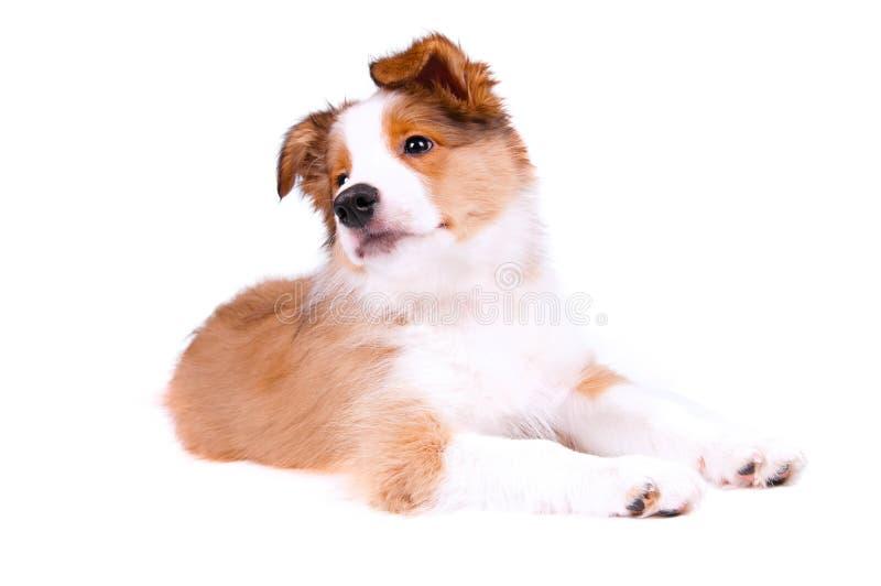 Perrito del perro del collie de frontera fotografía de archivo libre de regalías