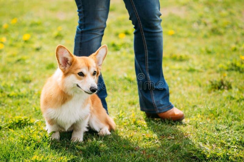 Perrito del perro del Corgi Galés que se sienta en los pies del dueño en hierba verde del verano fotos de archivo