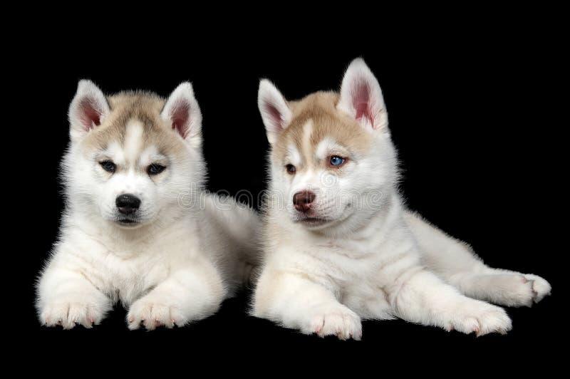 Perrito del perro del perro esquimal siberiano fotografía de archivo