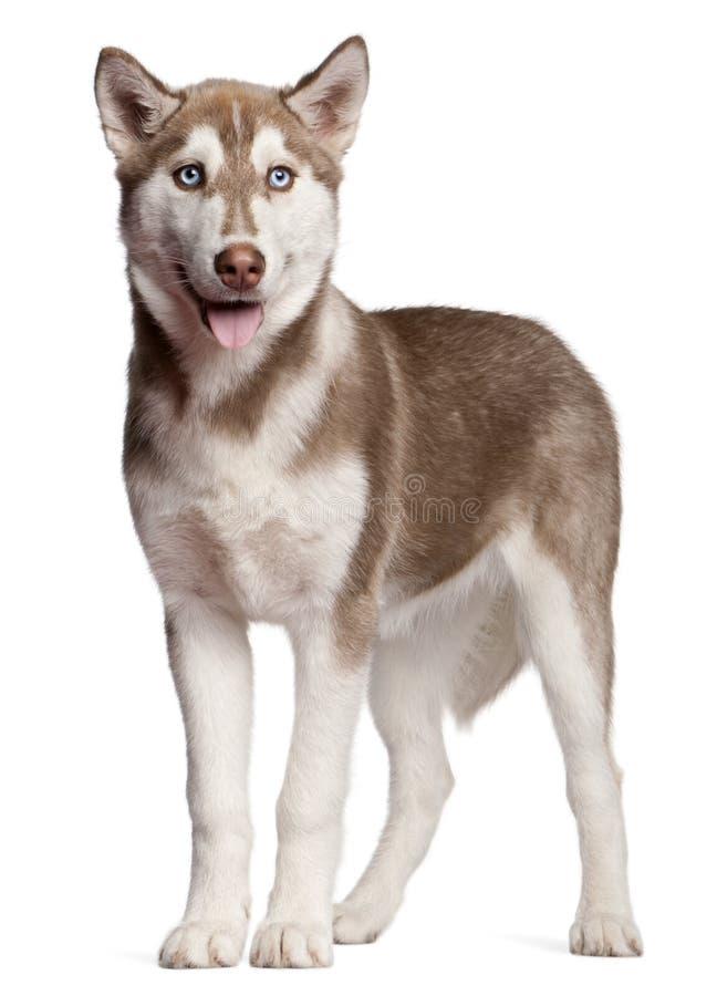 Perrito del perro esquimal siberiano, 4 meses, colocándose fotos de archivo libres de regalías