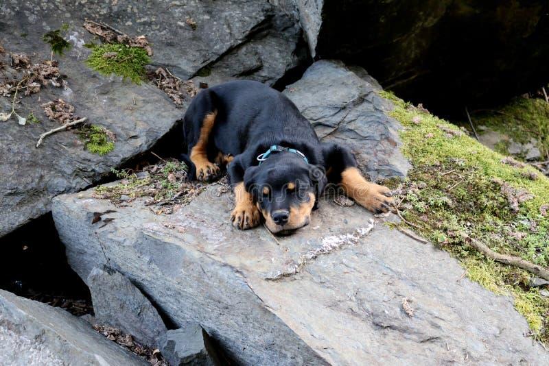 Perrito del perro negro de Rottweiler soñoliento en rocas imagen de archivo