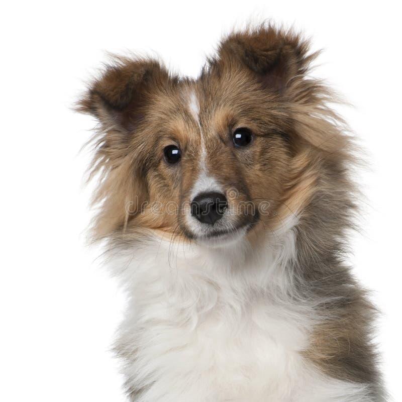 Perrito del perro pastor de Shetland, 5 meses imagen de archivo