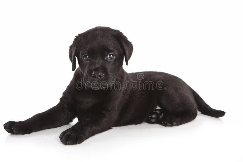 Perrito del perro perdiguero de Labrador fotografía de archivo