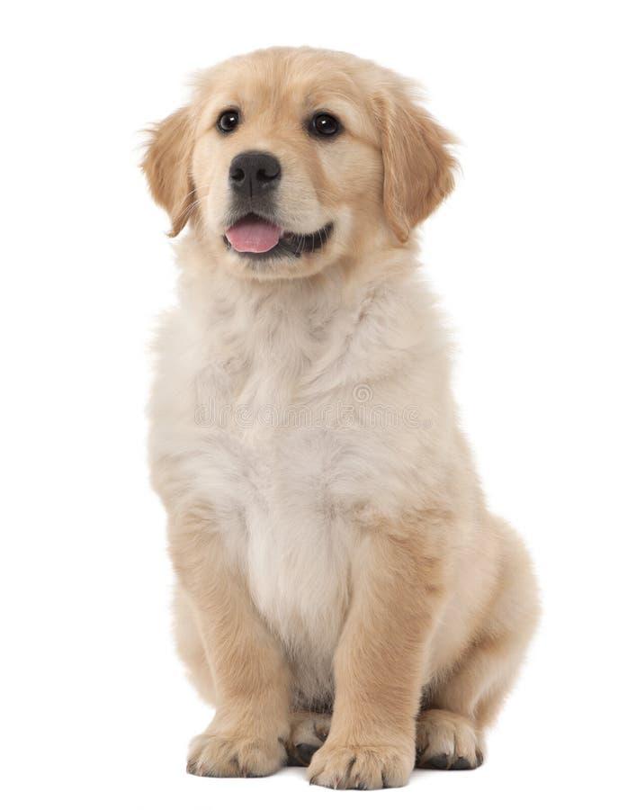 Perrito del perro perdiguero de oro, 2 meses, sentándose imágenes de archivo libres de regalías