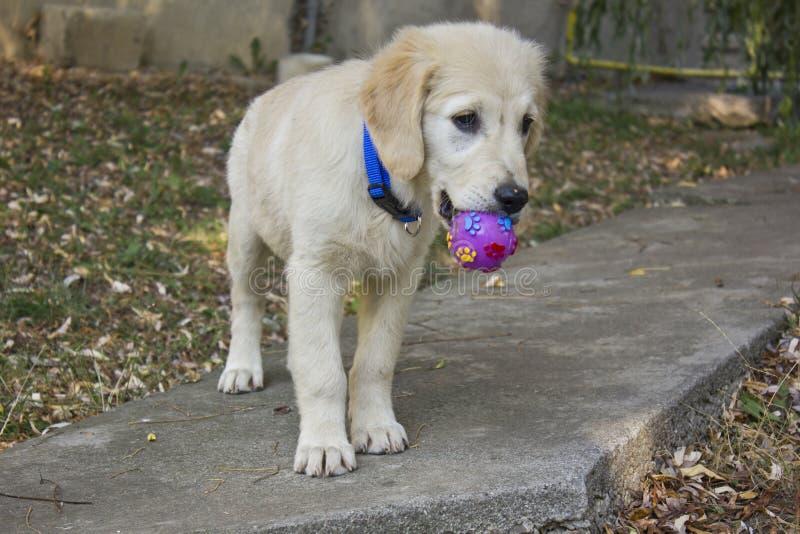 Perrito del perro perdiguero de oro imagen de archivo libre de regalías