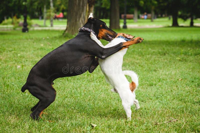 Perrito del Pinscher del Doberman que consigue práctica de la socialización en el lugar público que juega con el perro adulto foto de archivo