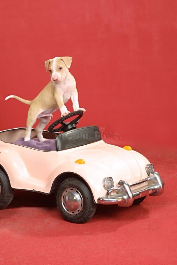 Perrito del pitbull en la rueda foto de archivo libre de regalías