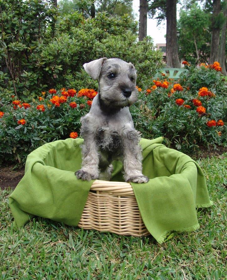 Perrito del Schnauzer en cesta foto de archivo libre de regalías