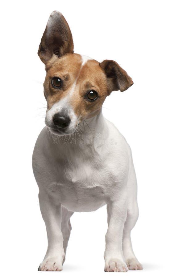 Perrito del terrier de Gato Russell, 2 meses fotos de archivo libres de regalías