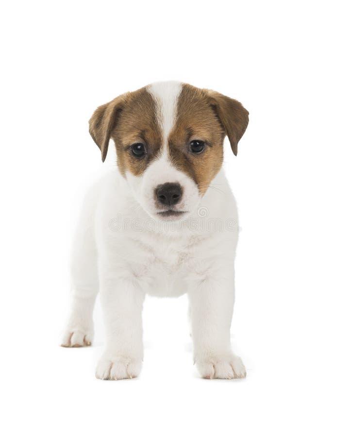 Perrito del terrier de Gato Russell imágenes de archivo libres de regalías