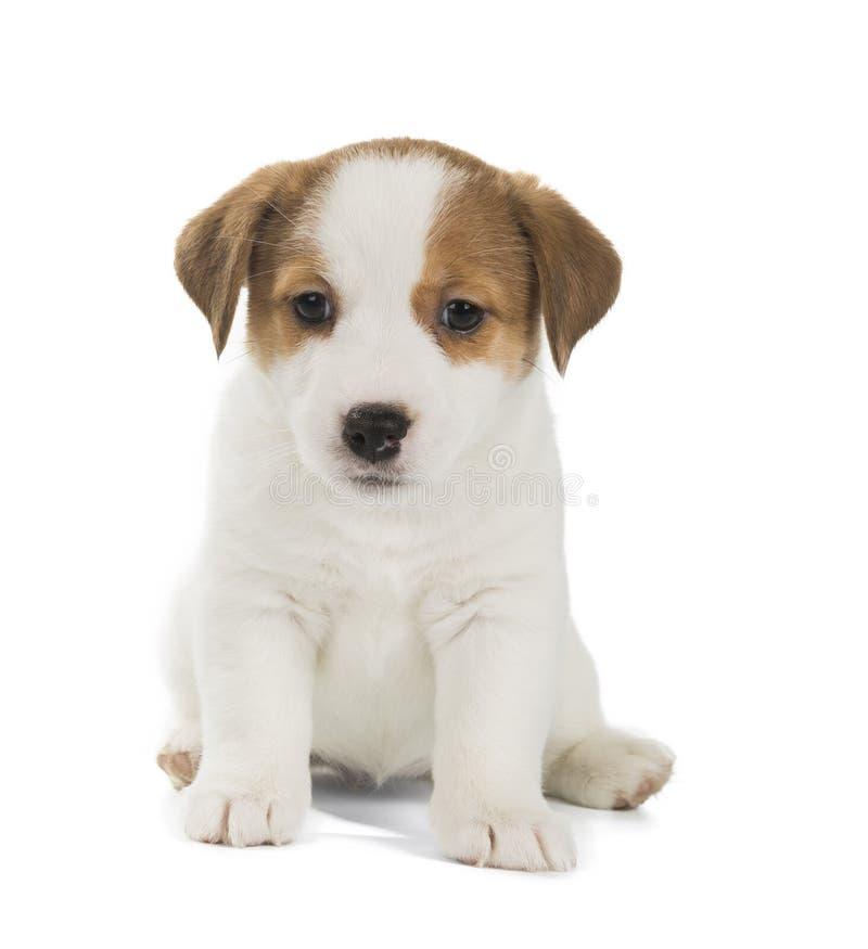 Perrito del terrier de Gato Russell fotografía de archivo