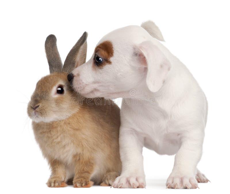 Perrito del terrier de Gato Russell y un conejo imagen de archivo libre de regalías