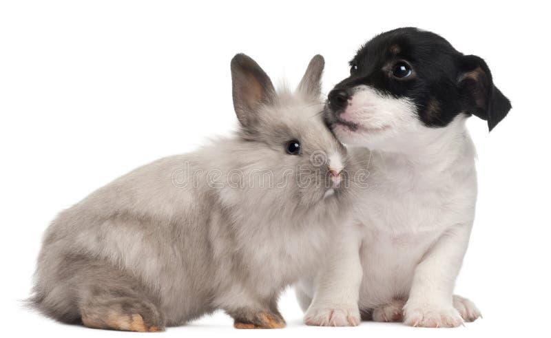 Perrito del terrier de Gato Russell y un conejo foto de archivo