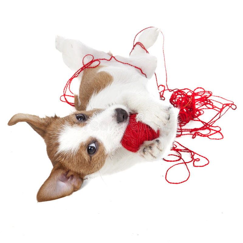 Perrito del terrier de Jack Russell fotografía de archivo libre de regalías