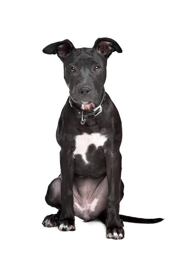 Perrito del terrier de toro de Staffordshire imagen de archivo