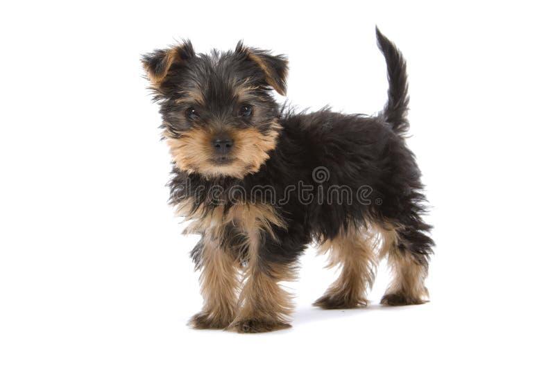 Perrito del terrier de Yorkshire imagen de archivo libre de regalías