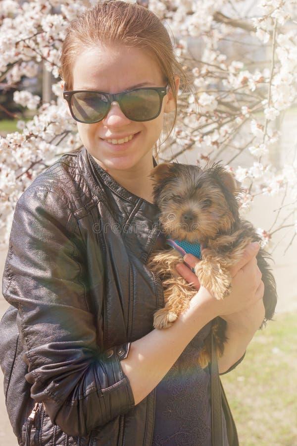 Perrito del terrier de Yorkshire en las manos de la muchacha imagen de archivo libre de regalías
