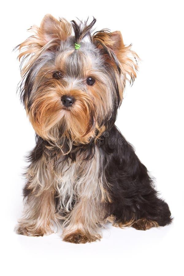 Perrito del terrier de Yorshire imagen de archivo libre de regalías