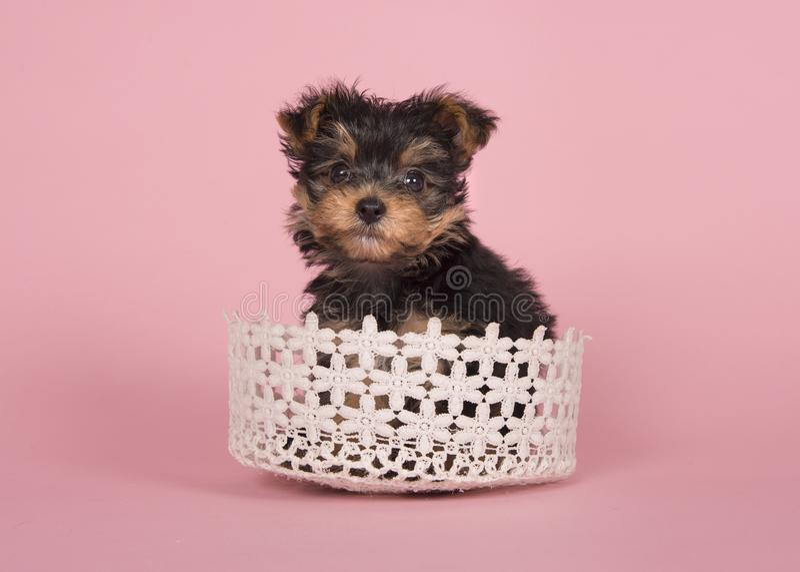 Perrito del terrier de Yorshire en una cesta en un fondo rosado fotografía de archivo