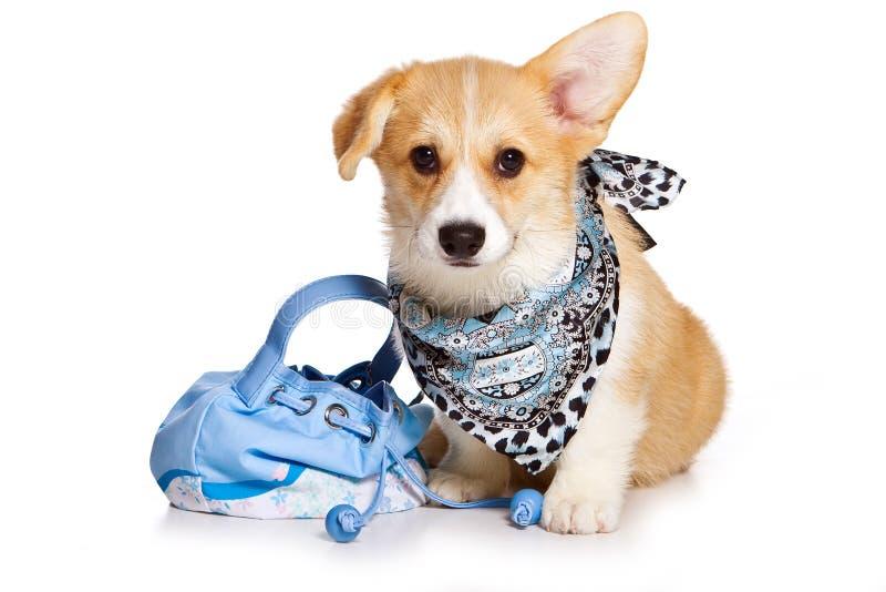 Perrito divertido del pembroke del corgi galés del pelirrojo en una bufanda y con un bolso del perro foto de archivo