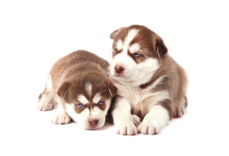 Perrito dos del husky siberiano, color marrón, en el fondo blanco imagenes de archivo