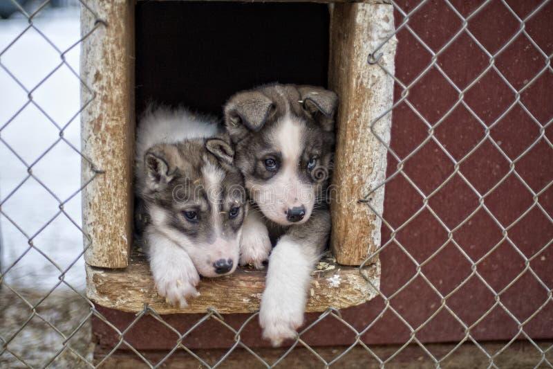 Perrito dos meses del perro del perro esquimal imagen de archivo libre de regalías