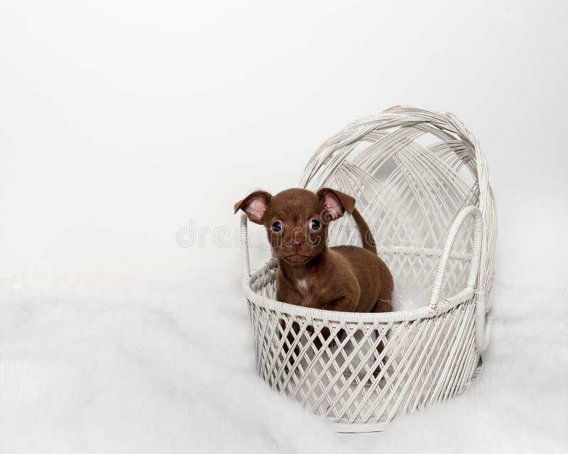 Perrito dulce de la chihuahua en la cesta blanca imagen de archivo