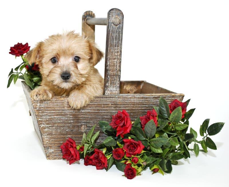 Perrito dulce de Morkie foto de archivo libre de regalías