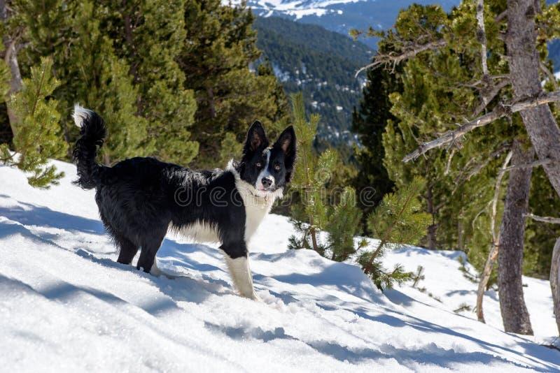 Perrito el border collie en un día soleado increíble en invierno en los Pirineos en Andorra imagen de archivo libre de regalías