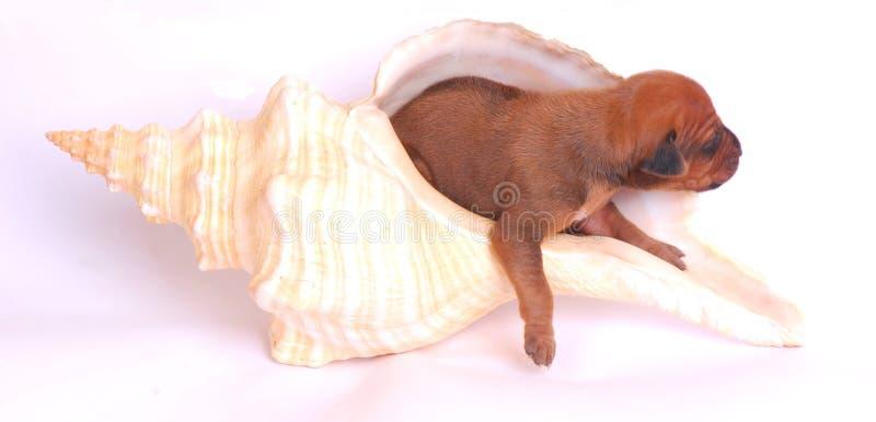 Perrito en seashell gigante foto de archivo