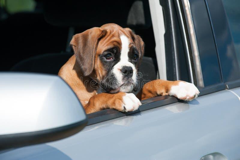 Perrito en un coche imagen de archivo