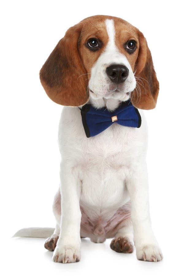 Perrito encantador del beagle con un arqueamiento foto de archivo