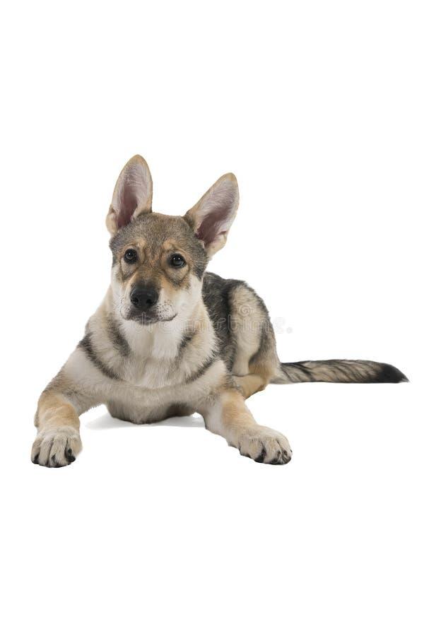 Perrito híbrido tamaskan femenino de mentira del perro con los oídos flappy aislados en un fondo blanco que mira la cámara imágenes de archivo libres de regalías