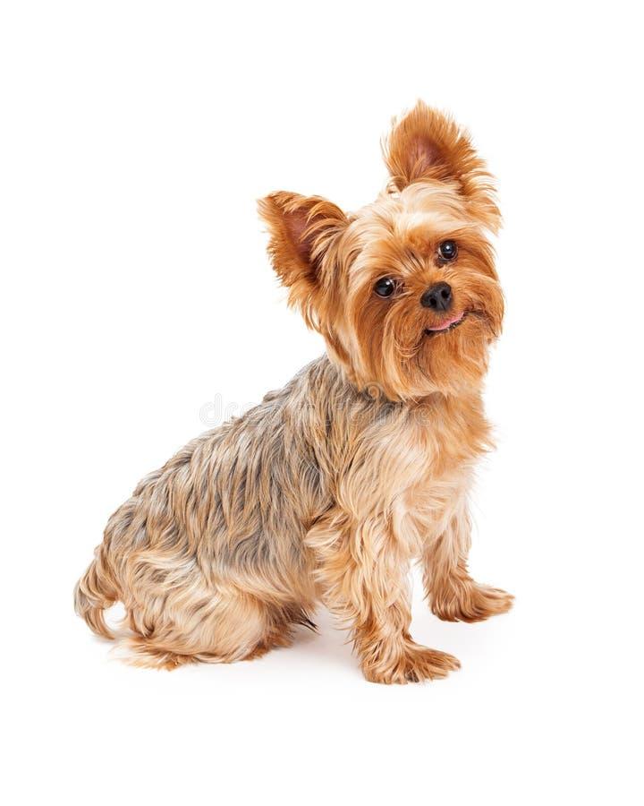 Perro Atento De Yorkshire Terrier Que Pone La Mirada