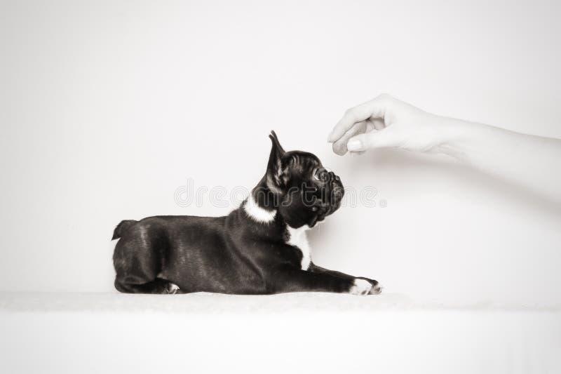 Perrito hambriento del dogo francés fotos de archivo