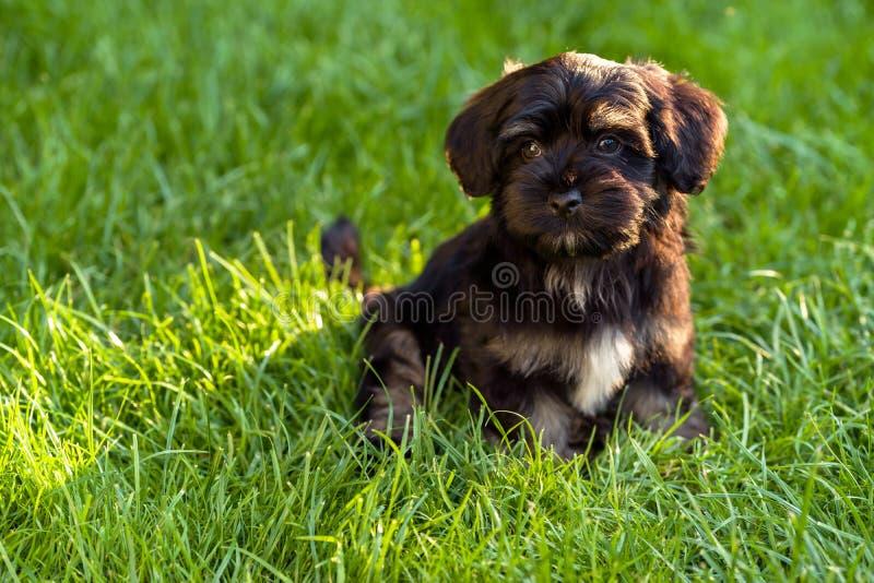 Perrito havanese negro y del moreno hermoso que se sienta en la hierba fotografía de archivo
