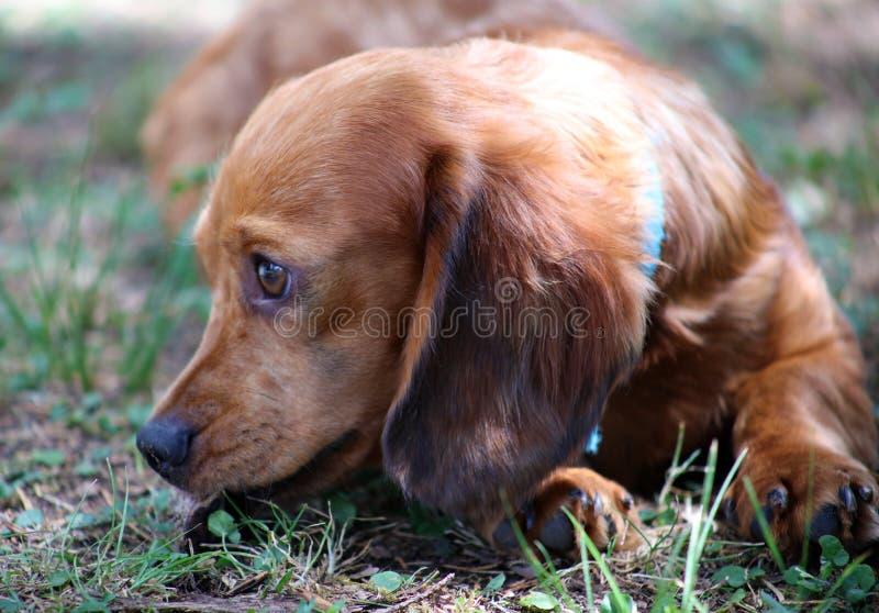 Perrito hermoso del pequeño del perro basset perro lindo de la salchicha de Frankfurt fotografía de archivo