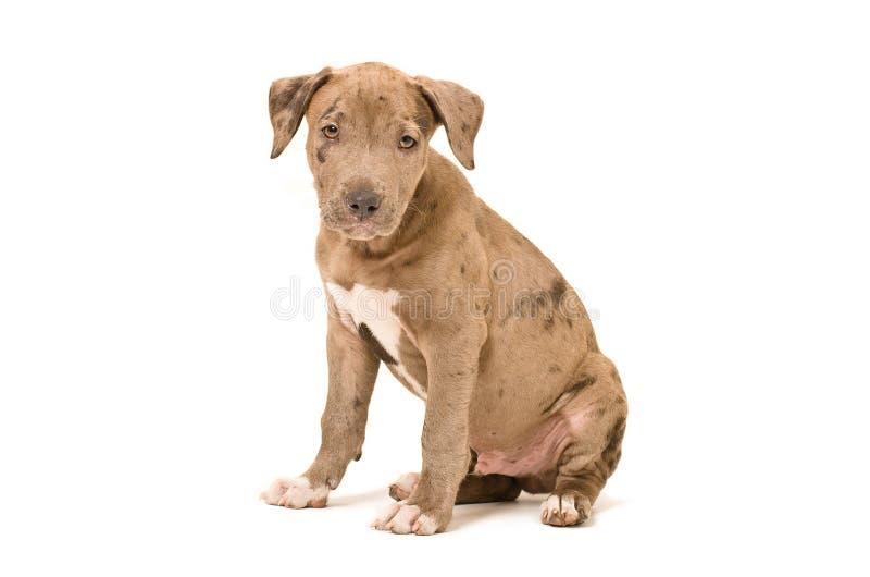 Perrito hermoso del pitbull imagenes de archivo