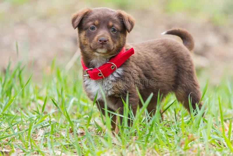 Perrito hermoso en un cuello rojo imágenes de archivo libres de regalías