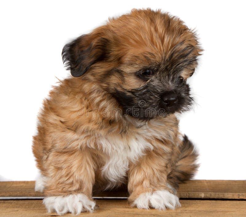 Perrito Hundido-tzu lindo en un tablón fotos de archivo