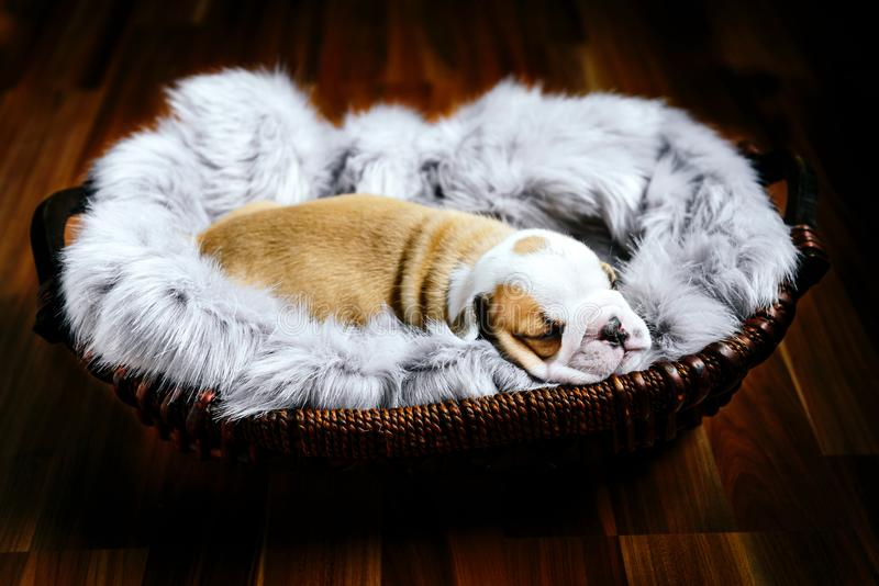 Perrito inglés del dogo imagen de archivo