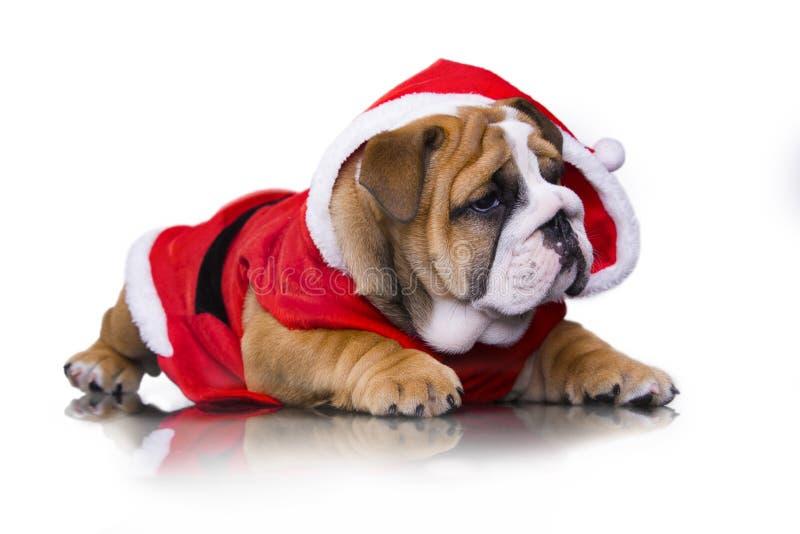 Perrito inglés del dogo en el traje de Papá Noel fotos de archivo