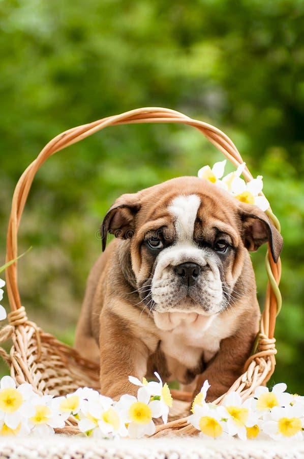 Perrito inglés del dogo en una cesta con las flores foto de archivo