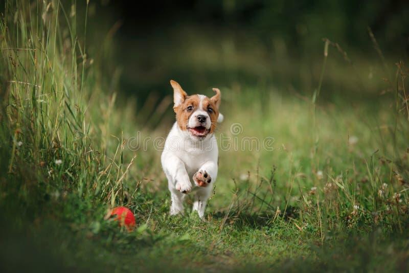 Perrito Jack Russell Terrier que corre en la hierba fotos de archivo