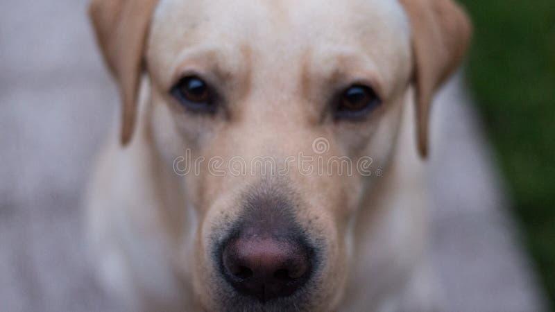Perrito joven de Labrador afuera, expresión facial seria foto de archivo