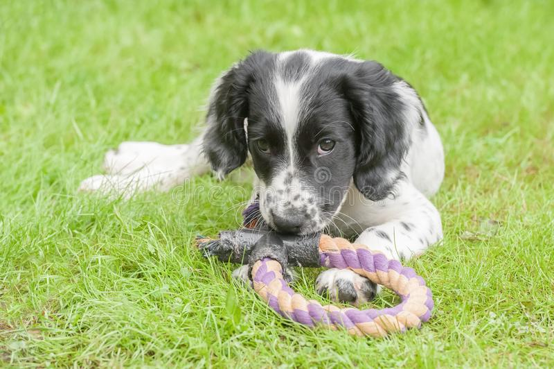 Perrito juguetón del perro de aguas imagen de archivo