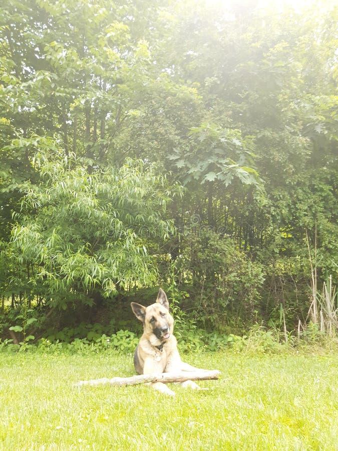 Perrito juguetón fotogénico que mastica su palillo imágenes de archivo libres de regalías